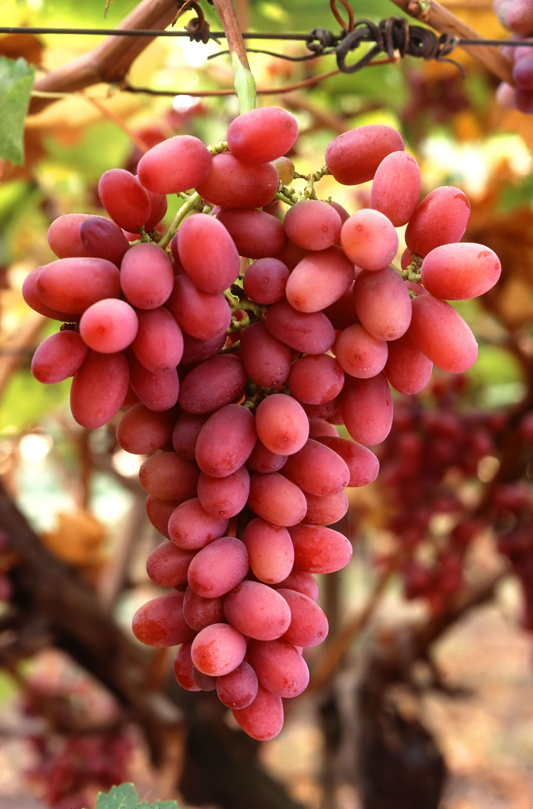 It's the Season of Grapes and Here is why they are Healthy